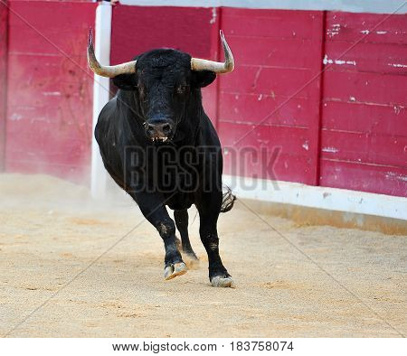 bull in spanish bullring with big antlers