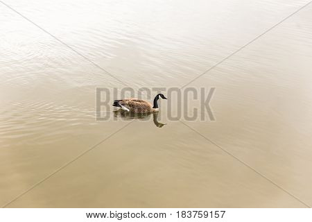 Canadian goose swimming over calm river water.