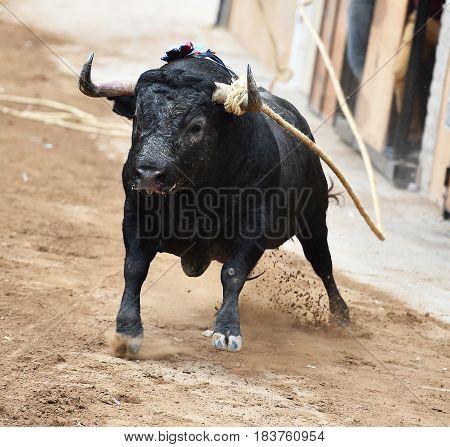 bull with big horns in spanish bullring