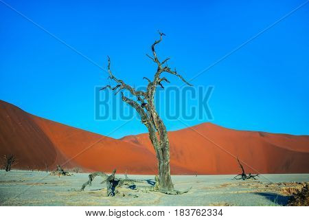 Ecotourism in Namibia, Namib-Naukluft National Park. The bottom of dried lake Deadvlei, with dry trees. Evening, sunset