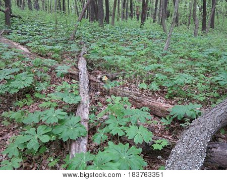 New spring plant growth on forest floor at Starved Rock State Park