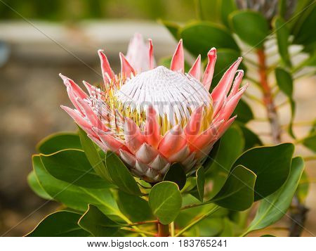 Beautiful king protea flower pink petals yellow and white stamen green defocused background.