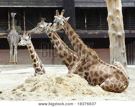 Giraffe relaxation on sand at Zoo poster