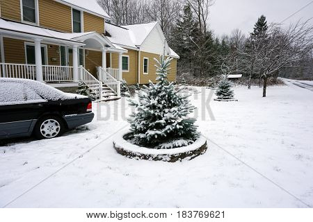 A small blue spruce tree (Picea pungens), in front of a home in Harbor Springs, Michigan, is covered with snow after a November snowstorm .