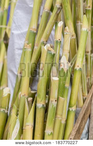 Sugarcane Bagasse, Source Of Sweet Sugar For Food And Nature Fiber Recycle For Biofuel Pulp And Buil