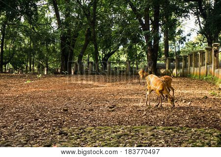 deers sitatunga tragelaphus spekii eating in the cage surrounding by tree, white wall and fence photo taken in Ragunan zoo Jakarta Indonesia java