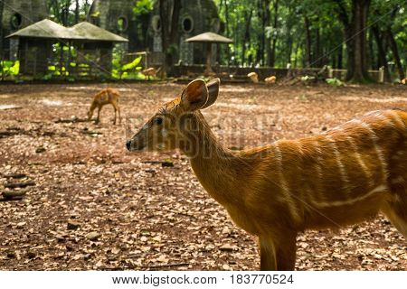 Striped deers sitatunga tragelaphus spekii in the cage with gazebo and dome house building photo taken in Ragunan zoo Jakarta Indonesia java