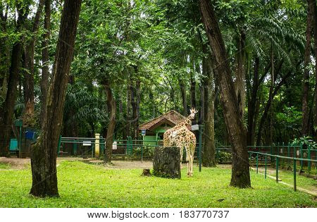 Two giraffes in cage with trees and low fence photo taken in Ragunan zoo Jakarta Indonesia java
