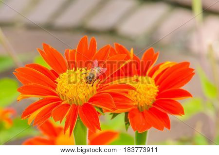 Bees On Mexican Sunflower