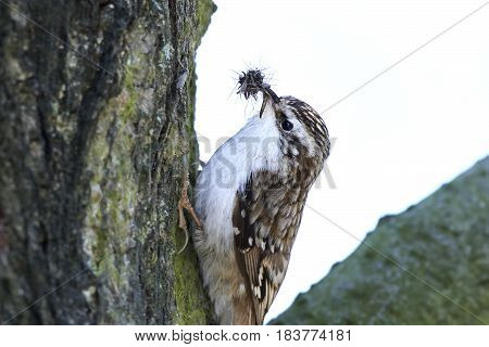 Eurasian treecreeper (Certhia familiaris) sitting on a tree trunk with insects in its beak
