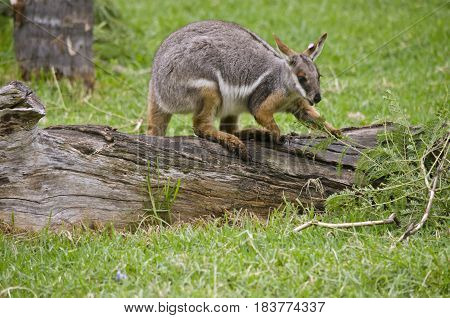 the yellow footed rock wallaby is standing on a log