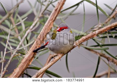 this is a close up of a red browed finch