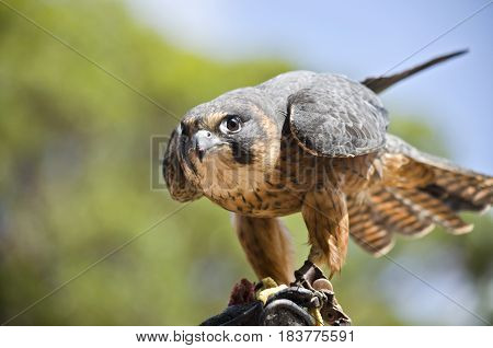 this is a close up of a hobby falcon