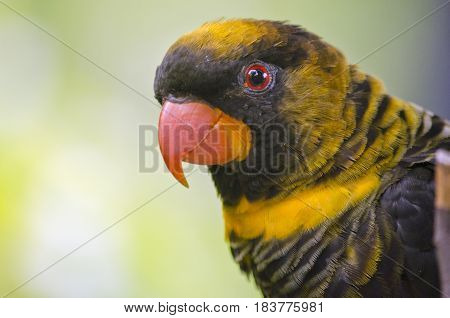 this is a close up of a dusty lory