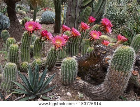 Blooming cactuses Echinopsis hybrid 'Flying Saucer'. Spring.