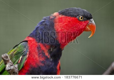 this is a close up of a black-capped lory