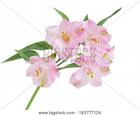 Alstroemeria (Peruvian lily) flower branch isolated on white background