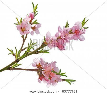 Peach flower Sakura cherry blossom isolated on white background