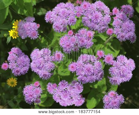 Purple Blue Danube, Blue Hawaii , Ageratum houstonianum flower in the garden summer time