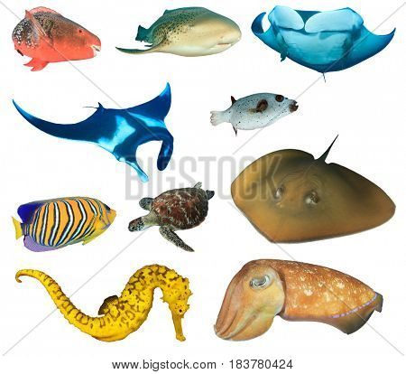Collection marine fish life isolated white background, Red Parrotfish, Leopard Shark, Manta Ray, Masked Puffer fish, Regal Angelfish, Green Sea Turtle, Stingray, Seahorse and Cuttlefish.
