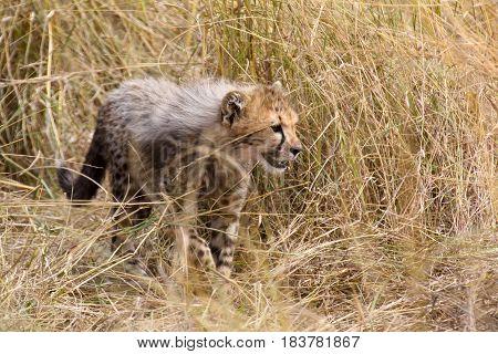 A cheetah cub stalks through tall dry grass in the Masai Mara National Park