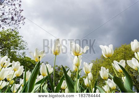 Close-up of Tulips. Garden Fowers. Beautiful White Tulips (Tulipa gesneriana) in Spring. White Spring Flowers in the Morning. Field full of Yellow Tulips