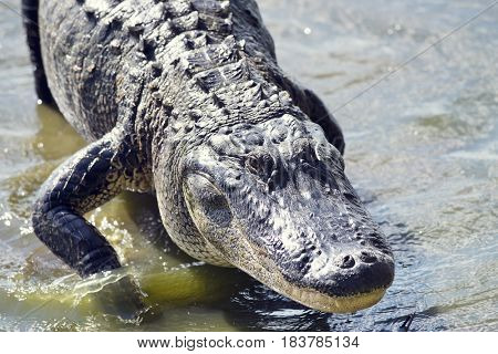 Large American Alligator, close up