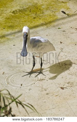 the royal spoonbill is cooling off in the water