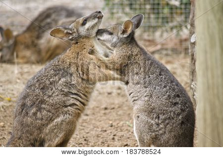 the two tammar wallabies are in a mating ritual