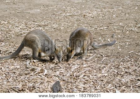 the two swamp wallabies are looking for food