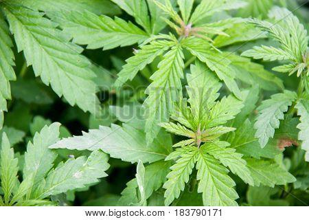 A full frame of marijuana foliage, background wallpaper.