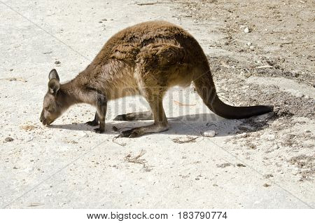 the Kangaroo-Island kangaroo is eating seeds in a paddock