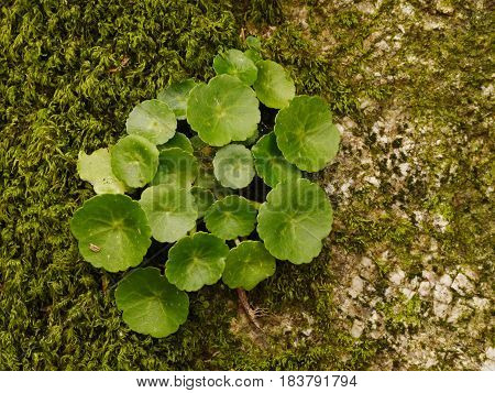 Green navel shaped leaves of Wall Pennywort (umbilicus rupestris) on a wall in Dartmoor, Devon, England