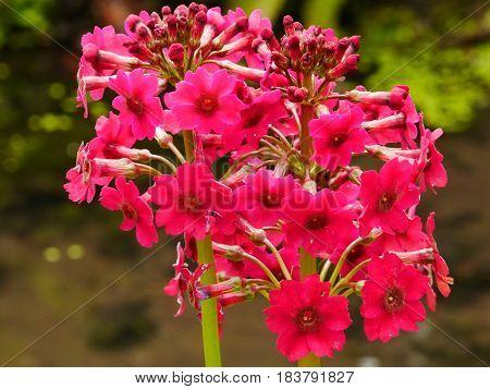 Close-up of a pink candelabra primula flower