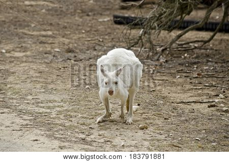 the albino eastern grey kangaroo is in a paddock