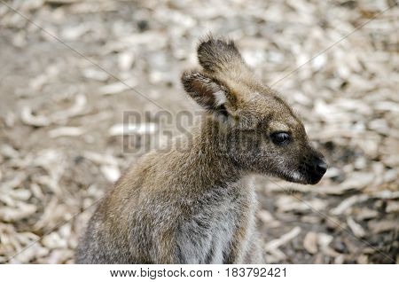 this is a close up of a bennetts red necked wallaby