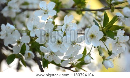 Blossoming Cherry Tree In The Spring Garden