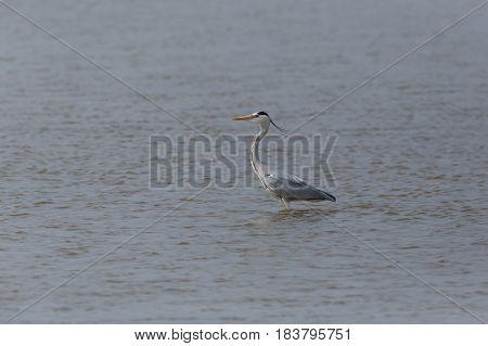 Isolated Gray Heron (ardea Cinerea) Standing In Water