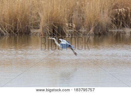 Gray Heron (ardea Cinerea) Landing In Water With Reed