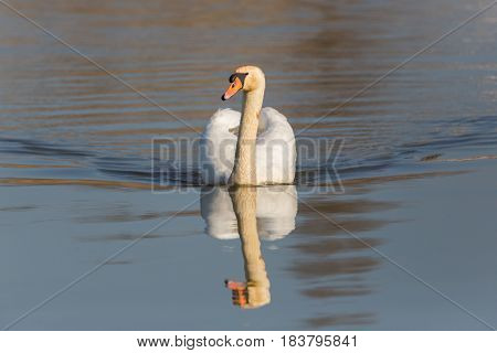 Portrait Of Swimming Mirrored Mute Swan (cygnus Olor)