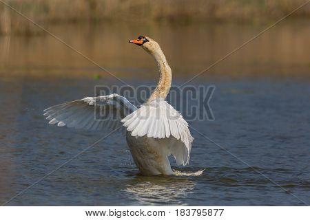 Portrait Of Mute Swan (cygnus Olor) Cleaning Plumage