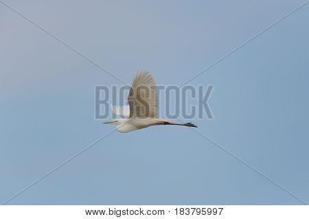 Great White Egret (egretta Alba) During Flight In Blue Sky