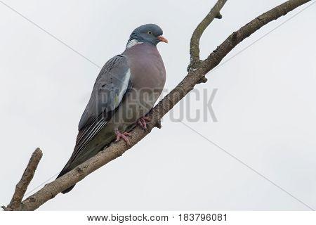 Woodpigeon (columba Palumbus) Sitting On Branch With White Background