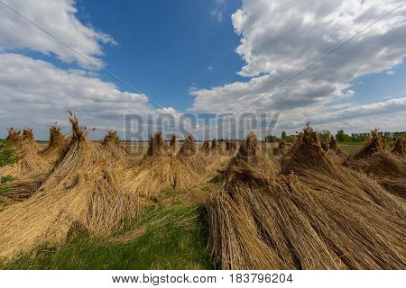 bundles of natural reed for drying with blue sky and clouds
