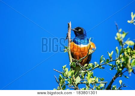 Superb starling or Lamprotornis superbus on a branch of a tree