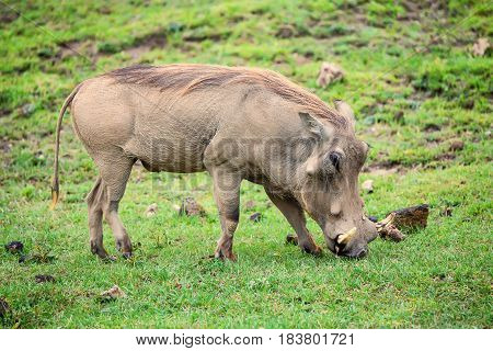Grazin warthog or Phacochoerus africanus in Ngorongoro national park in Tanzania