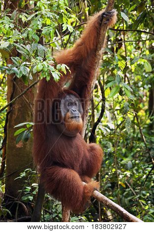 Dominant male orangutan in the jungles of northern Sumatra