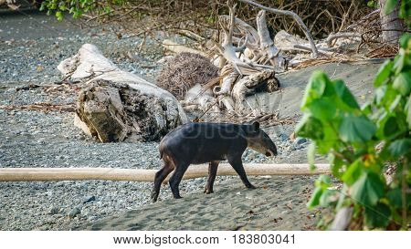 Long shot of wild young tapir entering the forest of Corcovado, Costa Rica