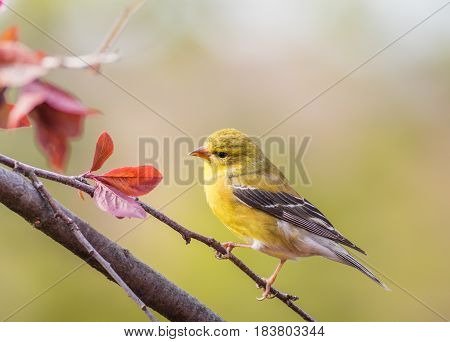 American Goldfinch (Spinus Tristis) female perched on plum tree branch