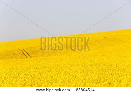 Extensive field of rapeseed with blue sky in the background. Intensive agricultural production fuel dependency agriculture and energy industry concept background and copy space.